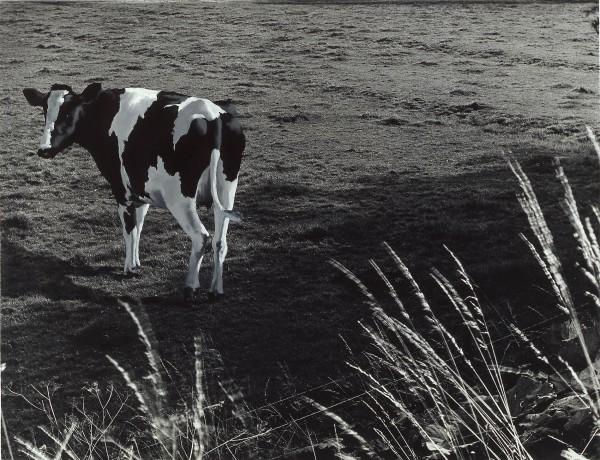 Kuh 244-3, oil on silver gelatine print, 108 x 125 cm, 1998