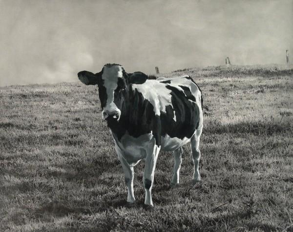 Kuh 480-9-2, oil on silver gelatine print, 89 x 111 cm, 2004